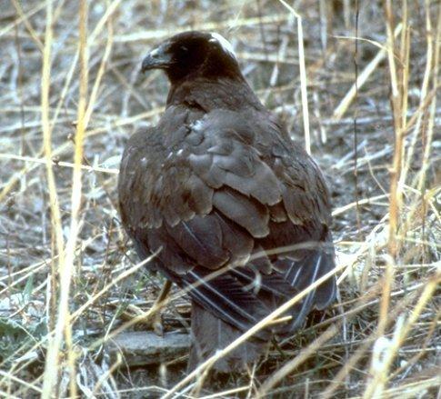 FalcoPalude