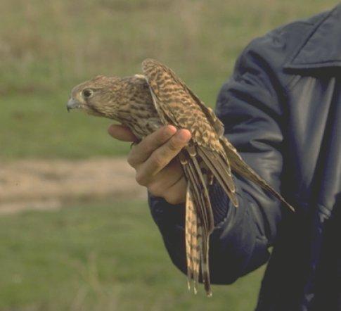 gheppio (falco)